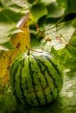 Vattenmelon i trädgård Arkivbild