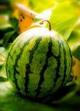 Vattenmelon i trädgård på morgonljus Arkivbilder