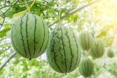 Vattenmelon i växthus Arkivbilder