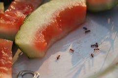 Vattenmelon och myror Arkivbild