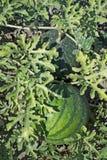 Vattenmelon på det gröna melonfältet Royaltyfria Bilder