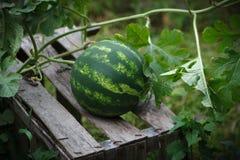 Vattenmelon på en träask arkivbild
