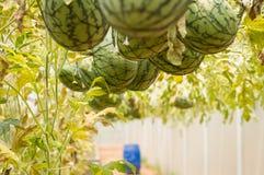 Vattenmelon på jordningen Royaltyfri Fotografi