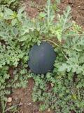 Vattenmelon som växer i Gardem arkivfoto