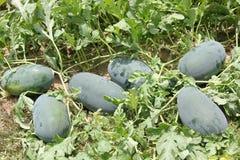 Vattenmelonfält arkivfoton