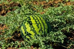 Vattenmelonfält under solen Arkivfoto