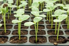 Vattenmelonplanta Arkivfoto