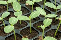 Vattenmelonplanta Royaltyfria Bilder