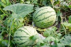 Vattenmelonskörd Royaltyfri Bild