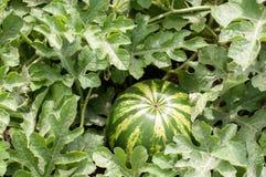 Vattenmelonväxt med frukt Fotografering för Bildbyråer