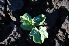 Vattenmelonväxt som växer i svart jord, organiskt lantbruk, tätt upp första sidor arkivfoto