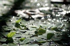 Vattenormbunke Fotografering för Bildbyråer