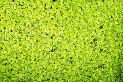Vattenormbunke Royaltyfri Fotografi