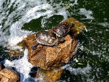 Vattenpölen i parkerar med sköldpaddor royaltyfria bilder