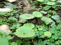 Vattenpennywortsidor och liten gullig växt av släktet Trifolium Royaltyfria Bilder