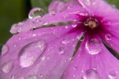 Vattenregndroppar som faller från blomman arkivbilder