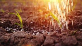 Vattenremsor bevattnar de unga forsarna på fältet I strålarna av inställningssolen Arkivfoto