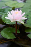 Vattenrosa färgblomma Arkivfoton