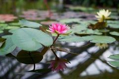 Vattenrosa färgblommor Fotografering för Bildbyråer