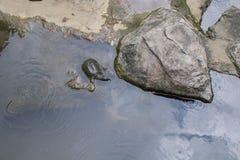 Vattensköldpadda arkivbild