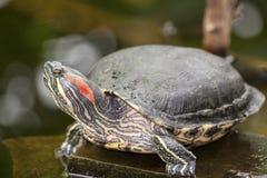 Vattensköldpadda Arkivbilder