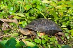 Vattensköldpadda Fotografering för Bildbyråer