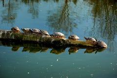 vattensköldpaddor som sitter i linje Arkivbild