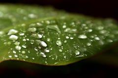 Vattensmå droppar på bananbladet Arkivbilder