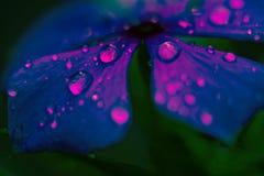 Vattensmå droppar på blåa kronblad för en blomma royaltyfri foto