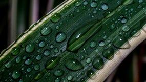 Vattensmå droppar på den vit avrivna gröna varigataen spricker ut Arkivbild