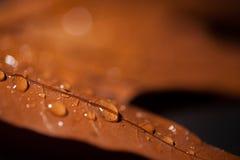 Vattensmå droppar på ekbladet Arkivbild