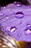 Vattensmå droppar på en purpurfärgad blomma Fotografering för Bildbyråer
