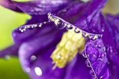 Vattensmå droppar på en purpurfärgad blomma Arkivfoto
