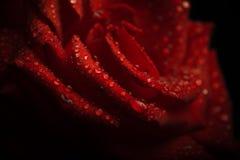 Vattensmå droppar på röda kronblad för en ros Arkivfoto
