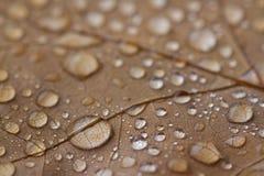 Vattensmå droppar som samlas i höstblad arkivfoton