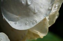 Vattensmå droppar som vilar på det försiktiga kronbladet av det delikat, steg Fotografering för Bildbyråer