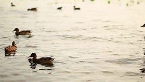 Vattenspringbrunnen i stad parkerar Bruna andlokalvårdfjädrar Sommardag i nationalpark Closeup av fågelfamiljen lager videofilmer