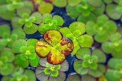 Vattenväxt av släktet Trifolium Arkivfoton