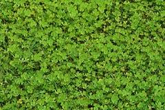 Vattenväxt av släktet Trifolium, vattenormbunke royaltyfri bild