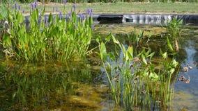 Vattenväxter i ett trädgårds- damm