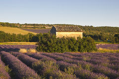 Vaucluse lavender field Stock Photo