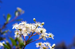 Vauquelinia Californica, Arizona-Rosenholz lizenzfreies stockbild