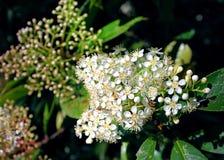 Vauquelinia Californica, Rosewood Аризоны стоковое изображение