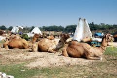 vautha Гуджарата Индии верблюда справедливое стоковая фотография