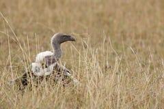 Vautour à dos blanc (africanus de Gyps) Photo libre de droits