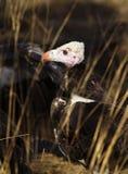 Vautour à tête blanche, Botswana Photographie stock libre de droits