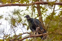 vautour Photo libre de droits