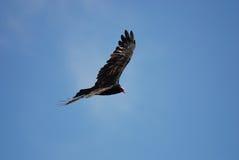 vautour Photo stock