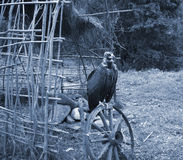 vautour Images stock