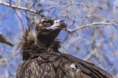 vautour Photographie stock libre de droits